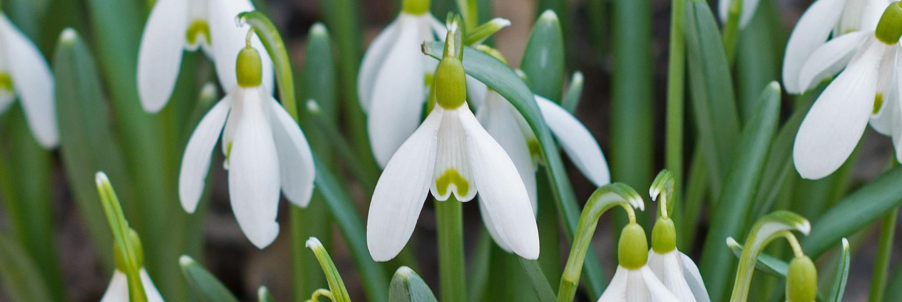 Snow_Drop_Flower_3309